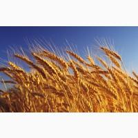 Пшеница Лесовая Песня 1Репродукция и Элита