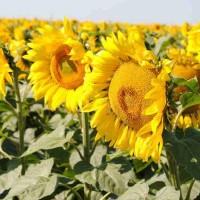 Семена подсолнечника Сантек ХО КЛ, 116-120 дней