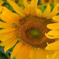 Семена подсолнечника Искандер, 105-108 дней