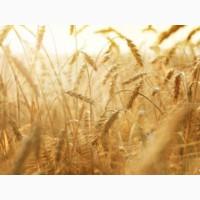 AMADEO Семена мягкой пшеницы двуручки элитного сорта