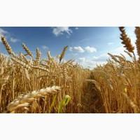 Пшеница Сталева Элита
