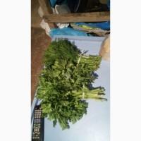 Продам зелень кропу і петрушки