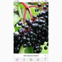 Сухую ягоду БУЗИНЫ.Купим по всей Украине