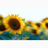 Закуповуємо насіння соняшнику у сільгоспвиробника