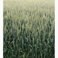 Пшеница канадская сорт Toleda