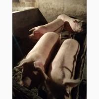 Продам свиней живым весом. Порода - Ландрас