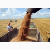 Пшеница (3 класс) на экспорт