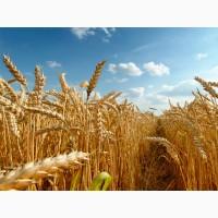 Пшениця озима Колонія (Colonia Limagrain) 1 репродукція (від 1т)