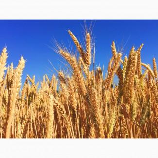 Куплю зерновые оптом. Пшеница, кукуруза, ячмень, овес, рожь