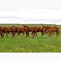 Покупаем лошадей на мясо живим весом
