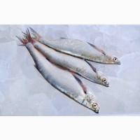 Купити рибу оптом. Плотва, густера, судак, лящ, окунь та ін
