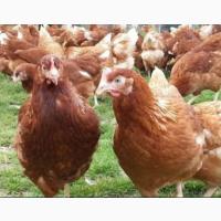 Закордонні інкубаційні яйця Хайсекс Браун