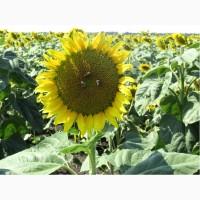 Насіння соняшника Аркансель, під гранстар, 108-112 днів