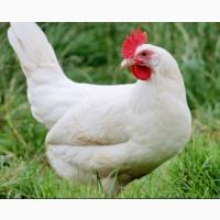 Закордонні інкубаційні яйця Хайсекс Вайт