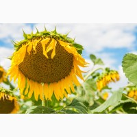 Семена подсолнечника Мир, ультраранний, 90-95 дней