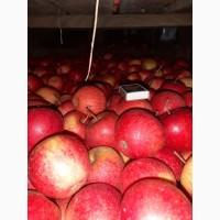 Продам яблоко ПИНОВА оптом