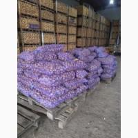Продам картофель белая роса королева