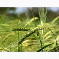 Продам насіння озимого тритикале - Ніканор