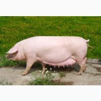 Премикс для лактирующих свиноматок