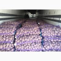 Продам картофель белая роса