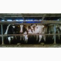 Заготовка коров бичків, телят коней и всього иншого