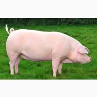 Премикс для свиней финиш