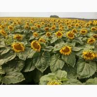 Семена подсолнечника под гранстар Рекольд, фракция стандарт, (Семанс Франция)