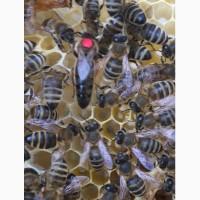 БДЖОЛОМАТКИ Карпатка Плідні матки 2020 (Пчеломатки, Плодные матки, Бджолині матки)