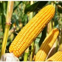 Куплю кукурузу, любая влажность, любые объемы
