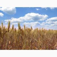 Пшеница Мудрость Одесская 1 Репродукция и Элита