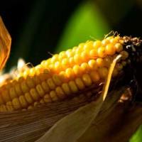 Семена кукурузы Хотин, ФАО 280