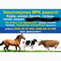 Закуповуємо ВРХ Корови Бички Коні Телята Телиця на м#039;ясо