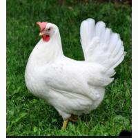 Закордонні інкубаційні яйця Легорн