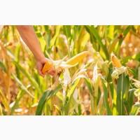 Купим вологу кукурудзу