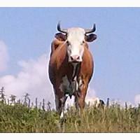 Куплю молодняк быков коров