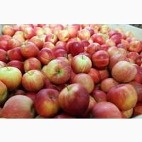 Закупим яблоко на переработку