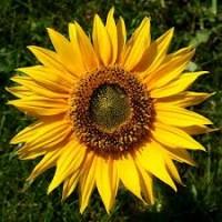 Закуповую соняшник, зернові культури