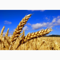 Купую продовольчу пшеницю. Дорого