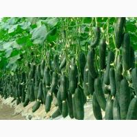Продаємо Огірки різних сортів. Прямі оптові поставки з Іспанії
