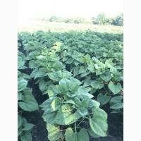 Высокоурожайный подсолнечник Альдазор, гранстароустойчивый, гибрид F1, фракция стандарт