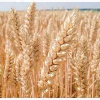 Продам насіння озимої пшениці - Богдана