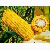 Насіння кукурудза ДН Галатея