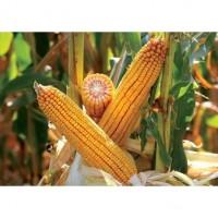 Закупівля кукурудзи, вологість будь-яка