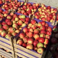 Закупка яблок. Куплю яблоки