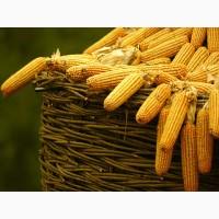 Купим кукурудзу із повишеною вологою