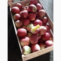 Продам яблоко Ремо оптом
