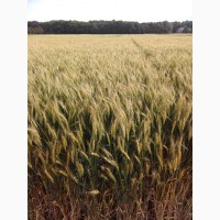 Зыск озимая пшеница