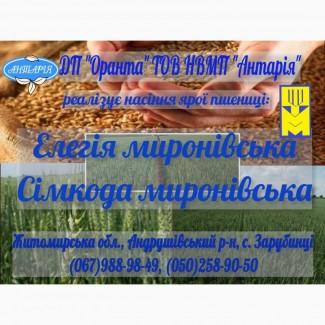 Насіння ярої пшениці Елегія миронівська та Сімкода миронівська