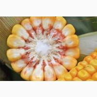 Насіння кукурудзи ( Галатея, Оржиця, Гран 6, Гран 310, Вн 63, Хотин, Арлен, Тесла
