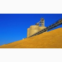 Продам пшеницю фураж